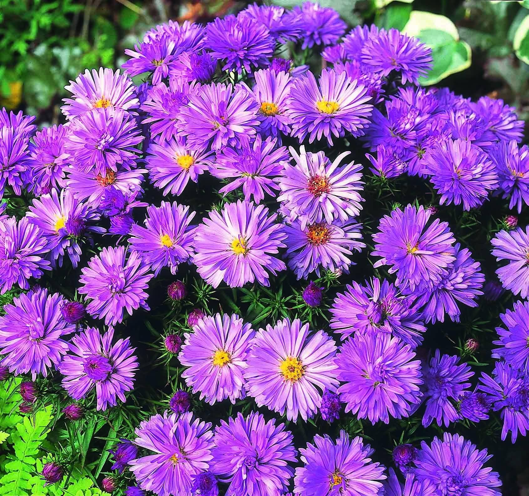 Астра альпийская(aster alpinus) — выращивание из семян