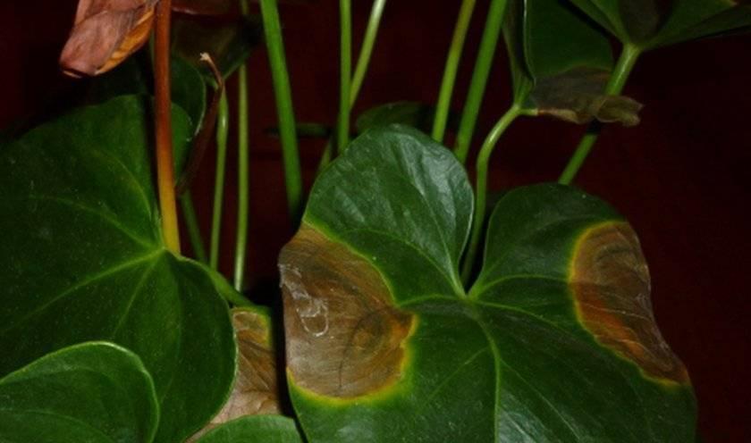 Антуриум: болезни, уход в домашних условиях, почему сохнут листья?