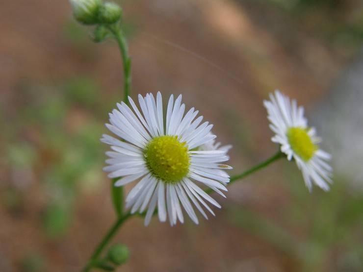 11 цветов, похожих на ромашки