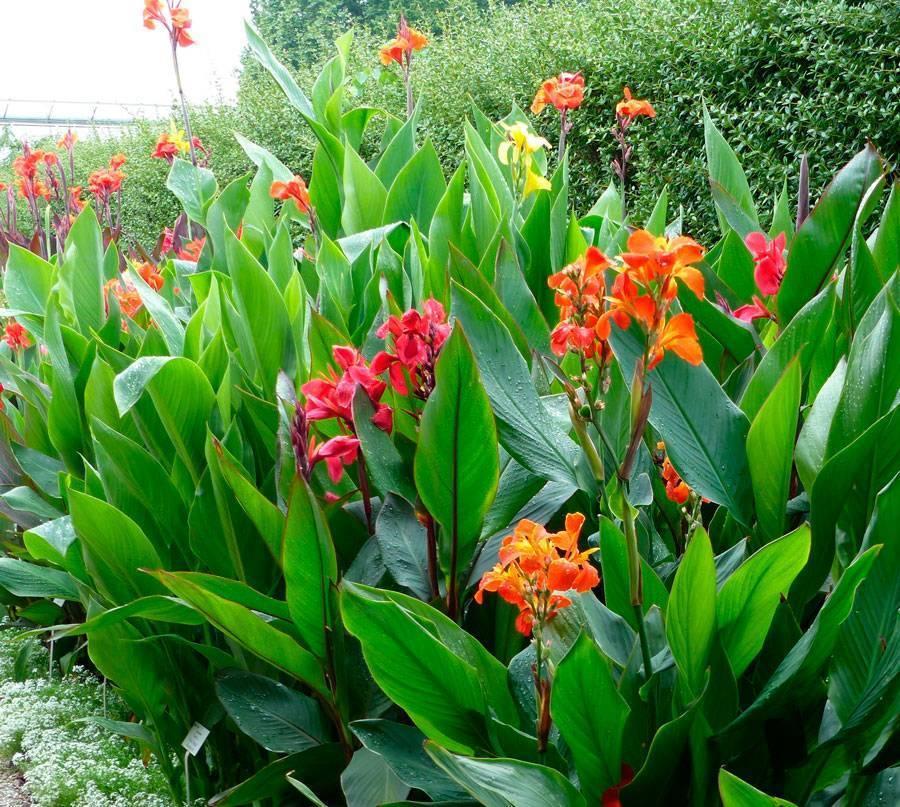 Канны домашние: уход за цветком канна в домашних условиях, сорта домашней канны