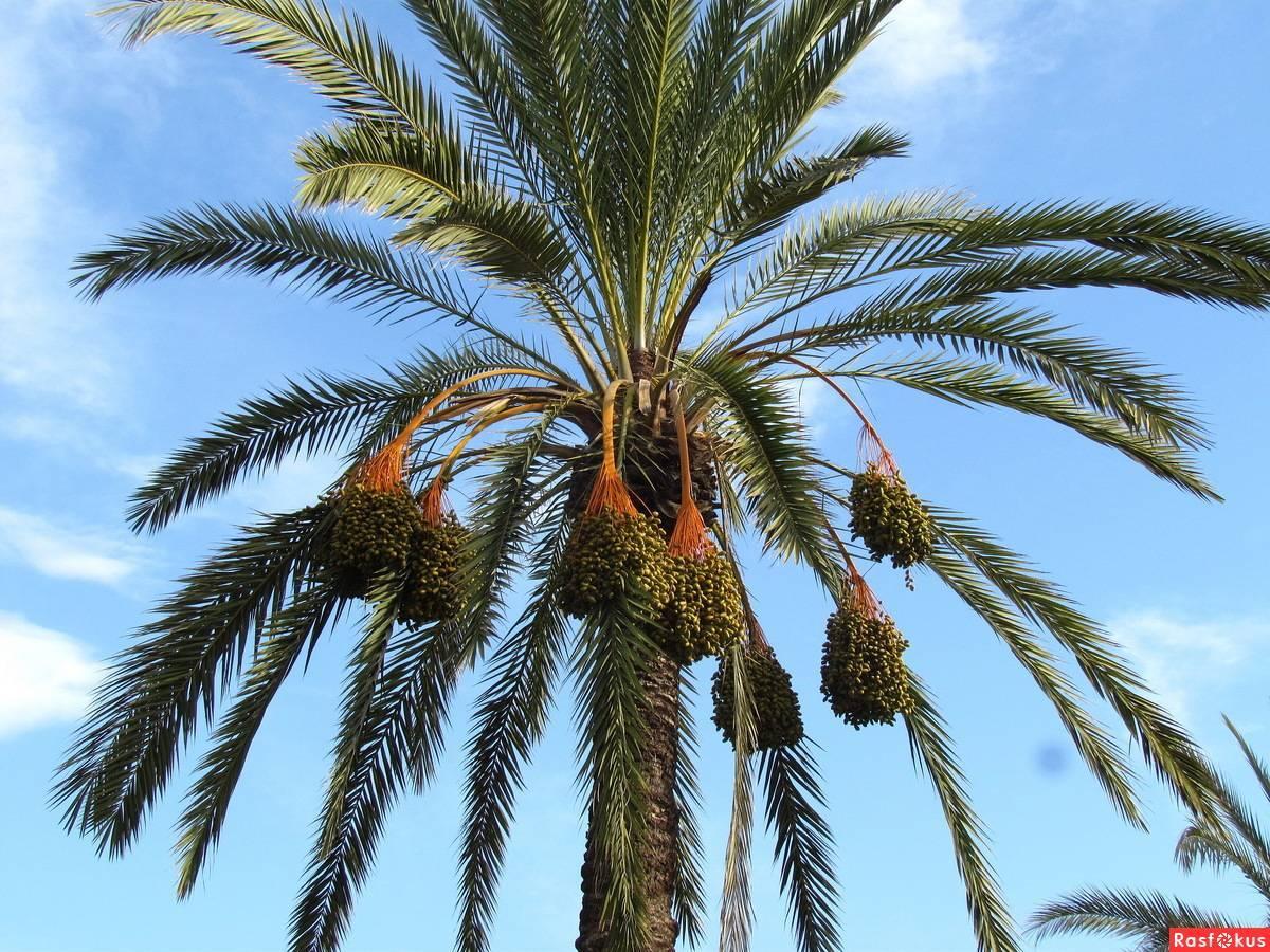 Финиковая пальма: где растет, как выглядит, фото, описание домашнего растения, ее родина
