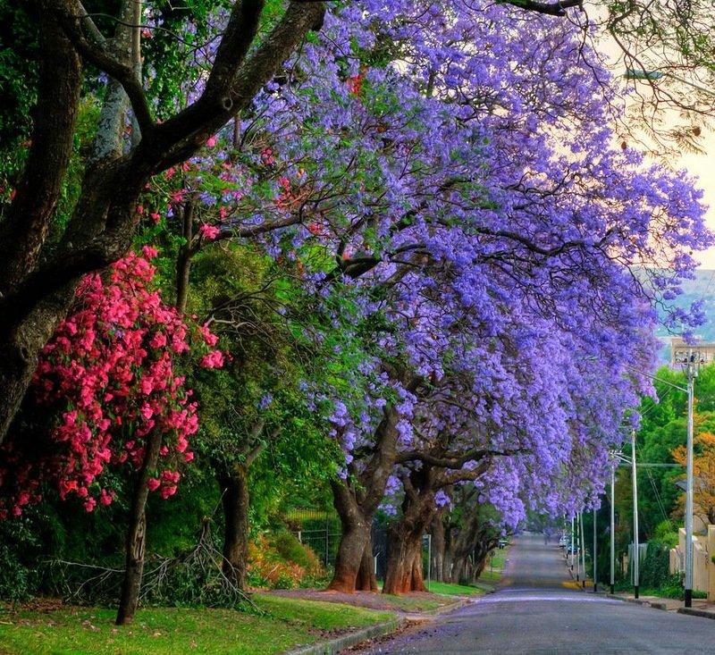 Где растет жакаранда, дерево с фиолетовыми цветами. жакаранда – уход в домашних условиях фиолетовое дерево название