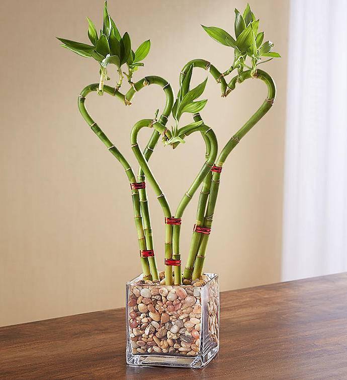 Бамбук в домашних условиях: уход, описание и фото комнатного растения