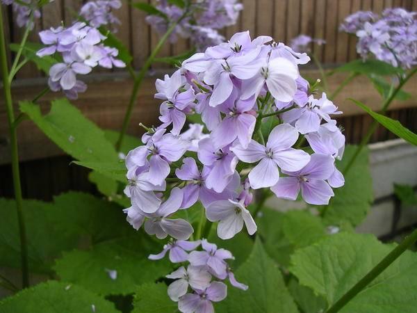 Лунник цветок — однолетний и многолетний виды растения