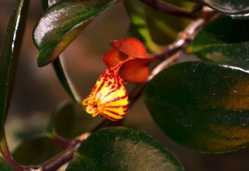 Нематантусы — эффектные красавцы с золотыми рыбками