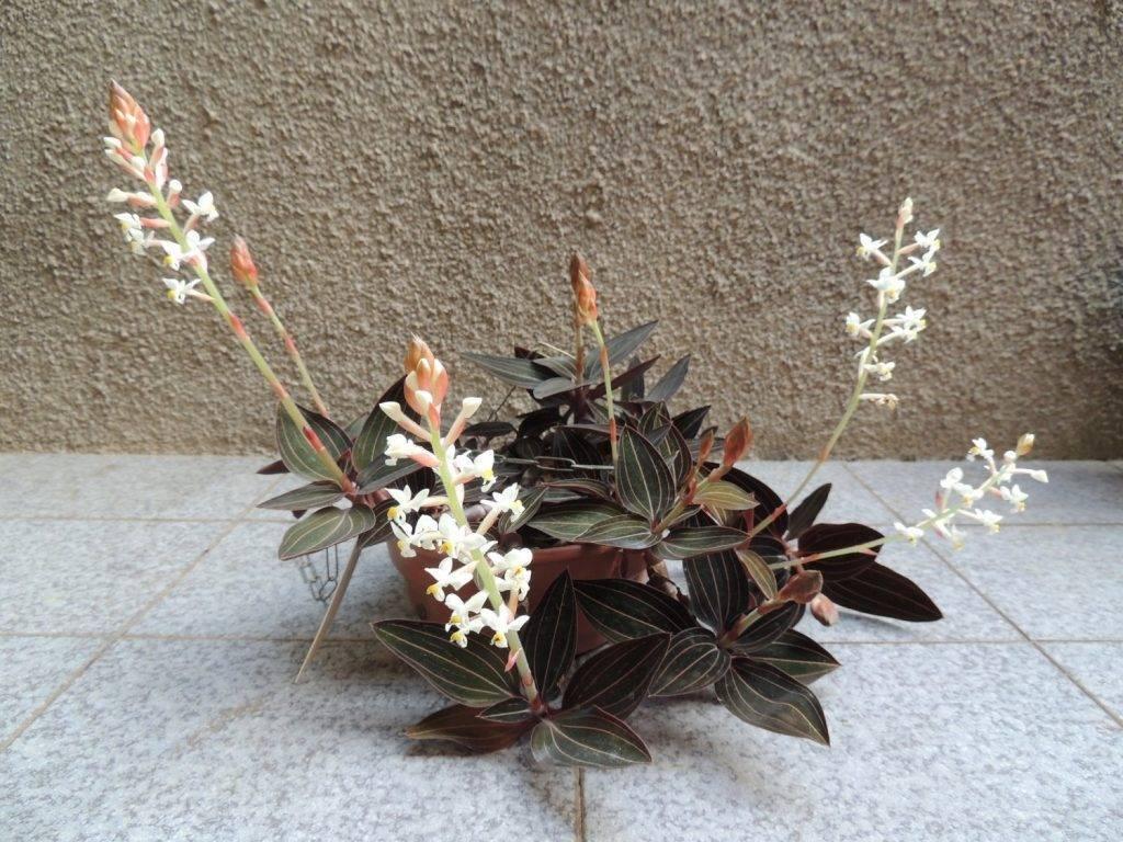 Драгоценная орхидея (39 фото): описание сортов лудизии «дисколор» и «танланиана» и уход за ними в домашних условиях, другие виды драгоценных орхидей и их способы размножения