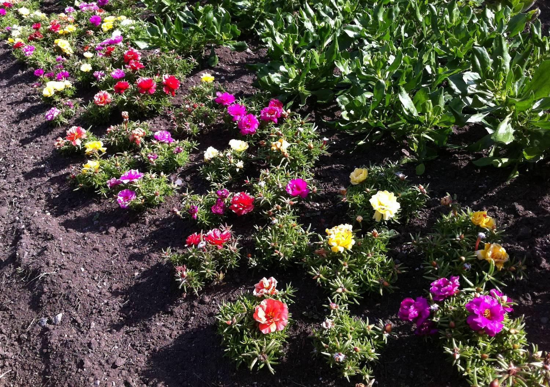Портулак: посадка и уход в открытом грунте, основные виды, выращивание из семян