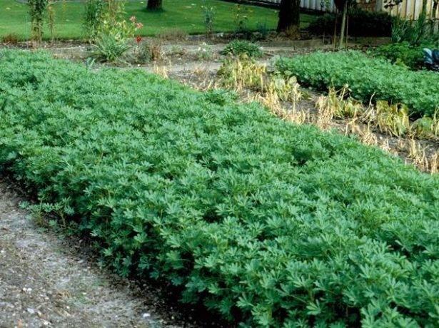 Использование люпина для удобрения картофеля