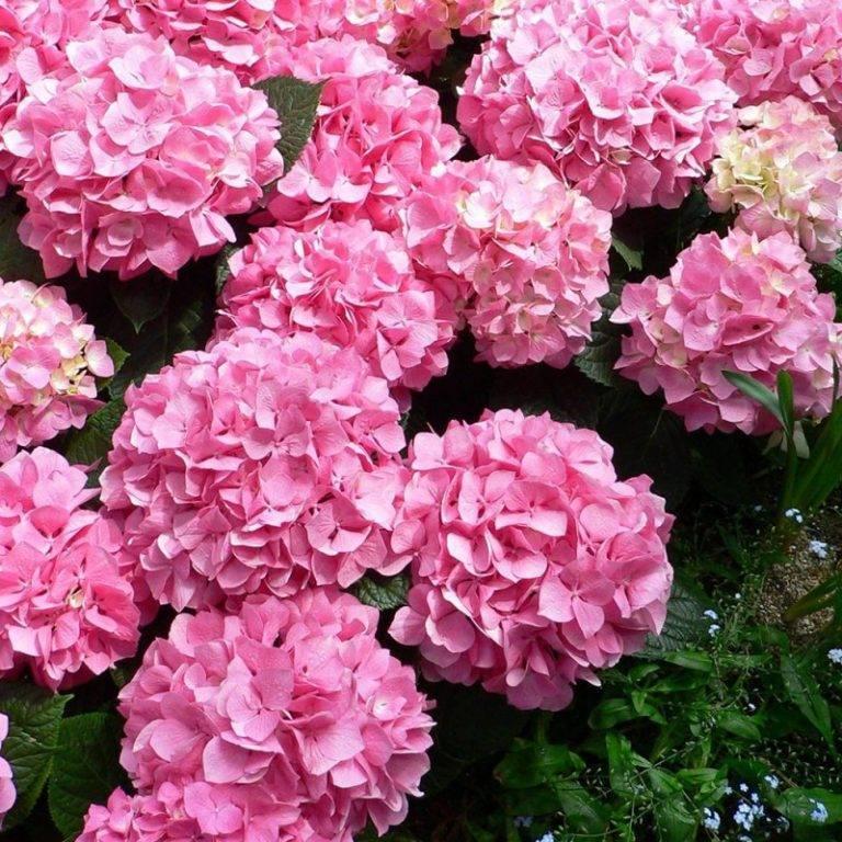 Розовая гортензия (48 фото): посадка и уход в открытом грунте, описание сортов гортензии древовидная и крупнолистная. как изменить цвет белых цветов народными средствами?