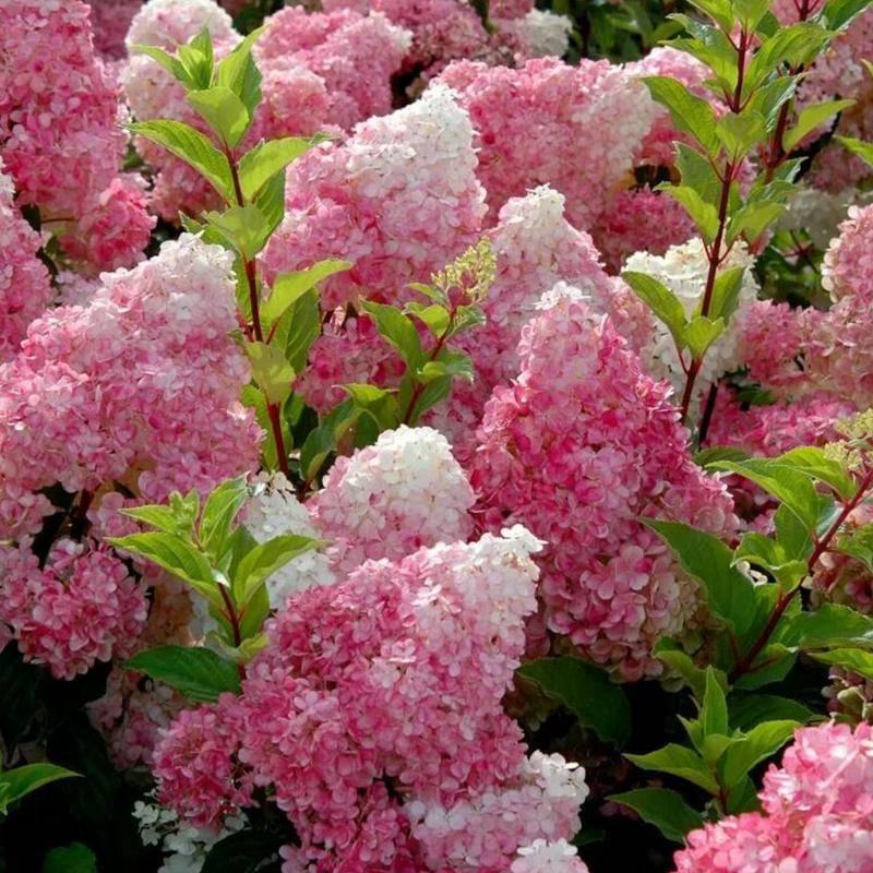 Выращивание гортензии метельчатой ванилла фрейз: розовое облако в вашем саду!