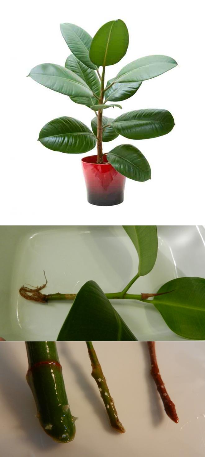 Размножение фикуса черенками – как культивировать цветок семейного благополучия?