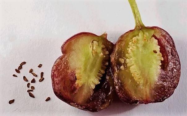 Фуксия: описание, выращивание в горшке и в открытом грунте, уход