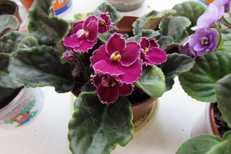 Сенполия: сорта, выращивание и уход в домашних условиях