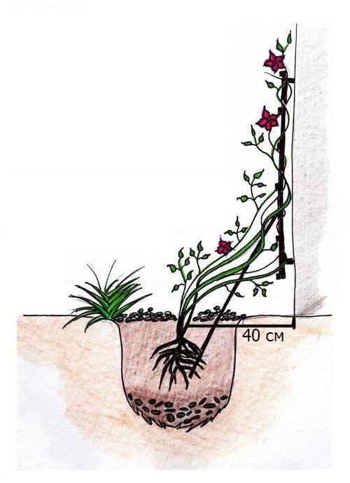 Выращивание камнеломки дома: как посадить, ухаживать, удобрять, размножать