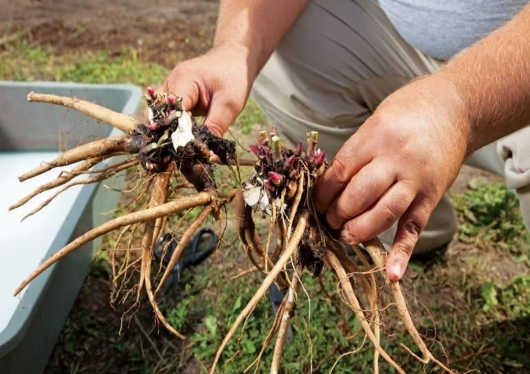 Как правильно пересадить пионы весной на другое место?
