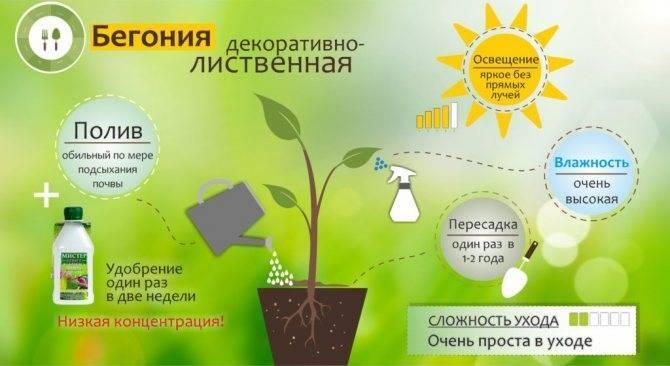 Бегония уход в домашних условиях:  выращивание и размножение