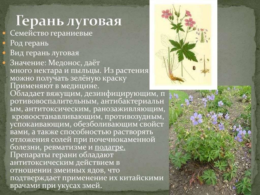 Герань (луговая, лесная, кроваво-красная): полезные свойства и противопоказания к применению видов растения