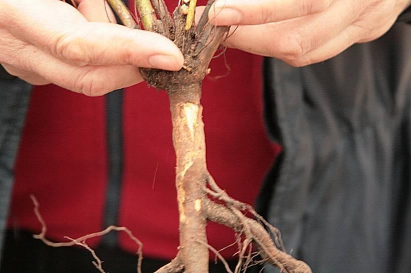 Способы размножения роз: окулировкой, черенкованием и семенами - энциклопедия цветов