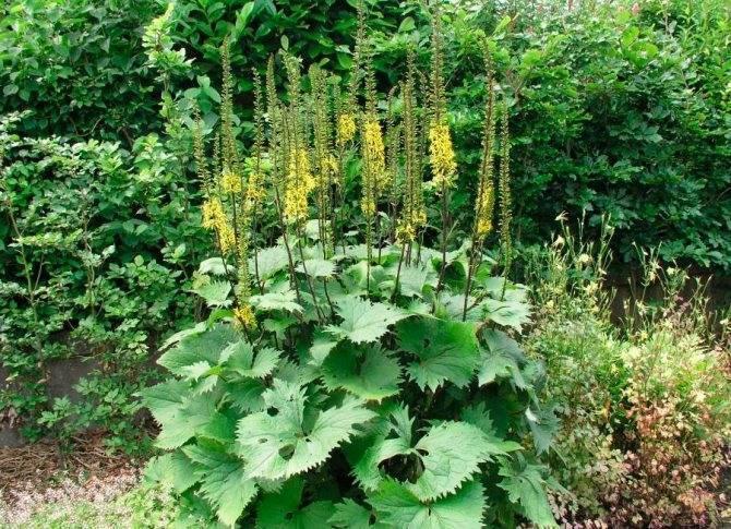 Правила посадки и ухода за бузульником в саду: виды, сорта, как поливать. цветение
