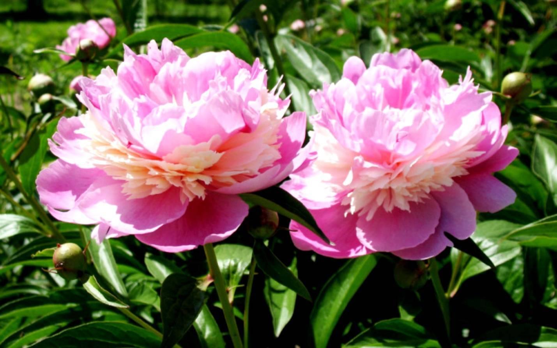 Все о пионе коллис мемори: посадка и уход за гибридом ито келлис на садовом участке