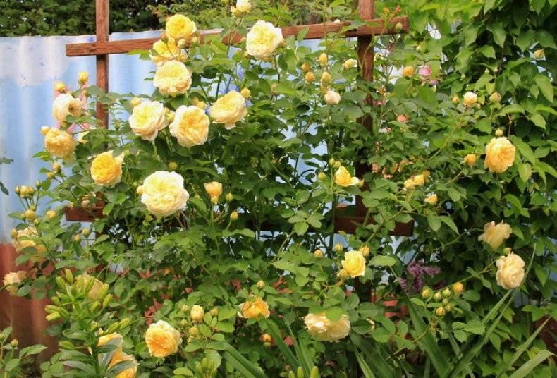 Английские розы дэвида остина: особенности ухода и условия выращивания, обзор и фотогалерея сортов
