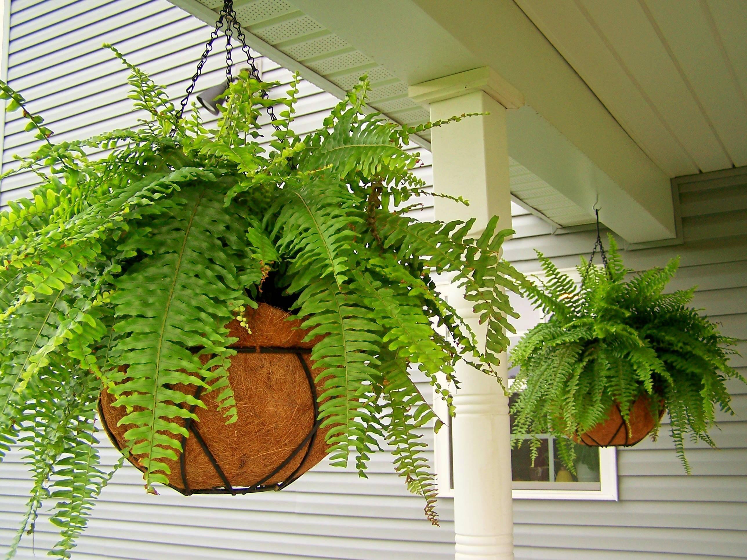Папоротник комнатный уход: в домашних условиях i виды, описание, особенности выращивания