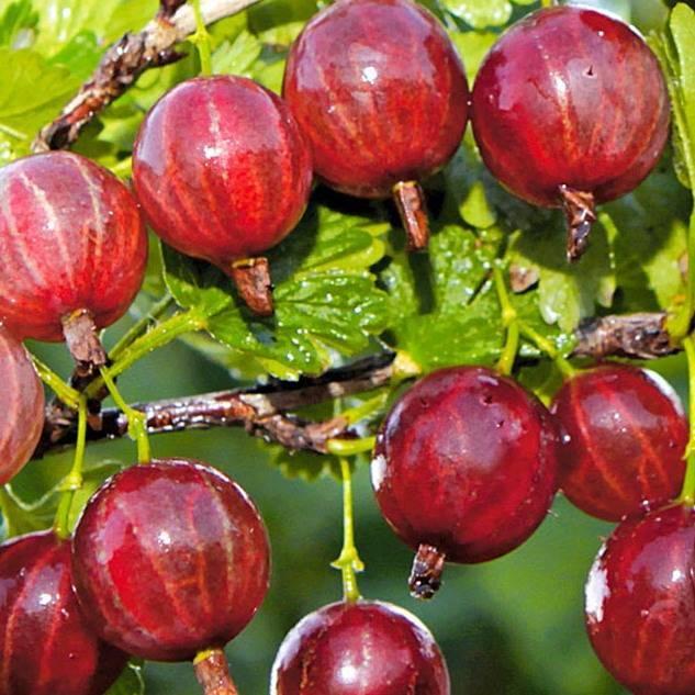 Когда созревает крыжовник: как собирать спелые ягоды