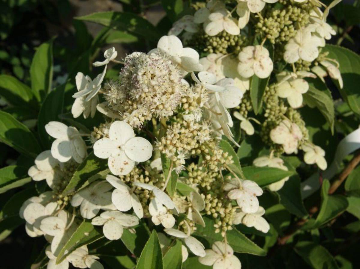 Гортензия метельчатая (64 фото): посадка и уход в открытом грунте, размножение и болезни. почему не цветет? правила обрезки