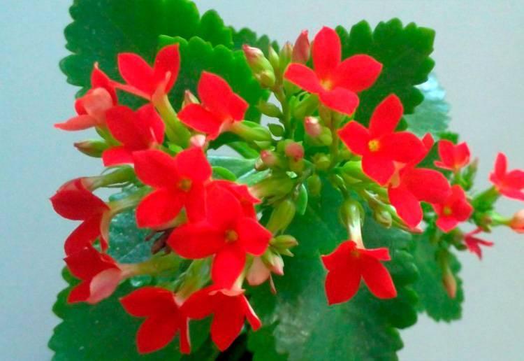 Названия и описание домашних растений и комнатных цветков с красными листьями