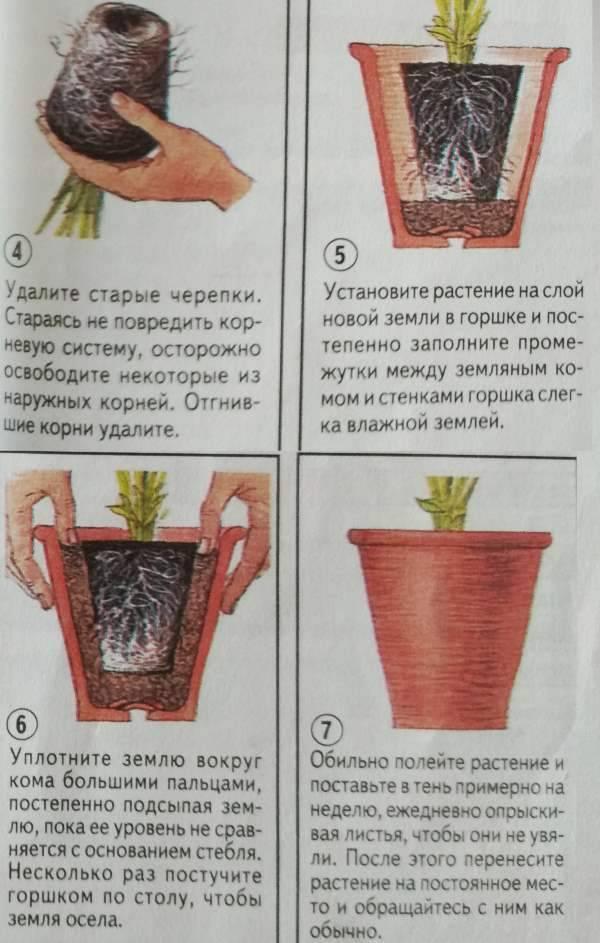 Поэтапная пересадка комнатных цветов и растений