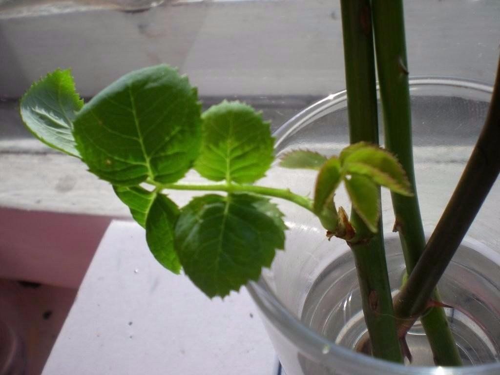 Если розы дали побеги на стебле в вазе: как посадить отросток дома в горшок