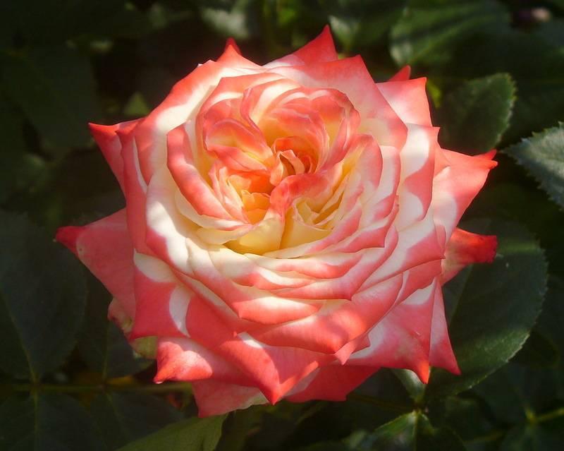 Чайно-гибридная роза верано, описание, фото, как выращивать | о розе