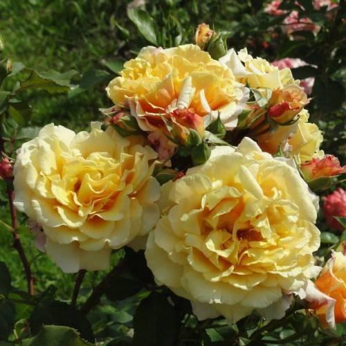 Описание сорта плетистой розы карамелла из группы шрабов: особенности ухода