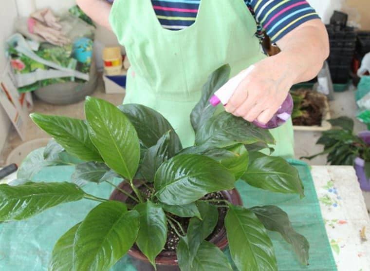 Бакопа - фото, посадка и уход, выращивание из семян в домашних условиях, размножение, болезни