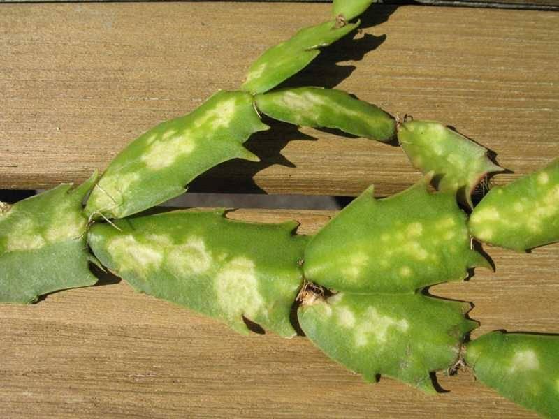 Разновидности пушистого кактуса: описание цветка, уход, цветение и размножение