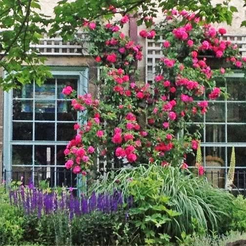 Выращивание плетистой розы джон кэбот: описание канадского паркового сорта