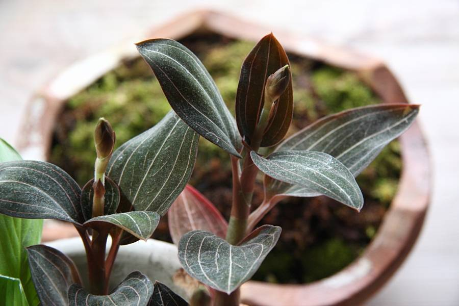Драгоценная орхидея лудизия дисколор (гемария): посадка, уход дома, размножение, описание, фото - читайте на орхис