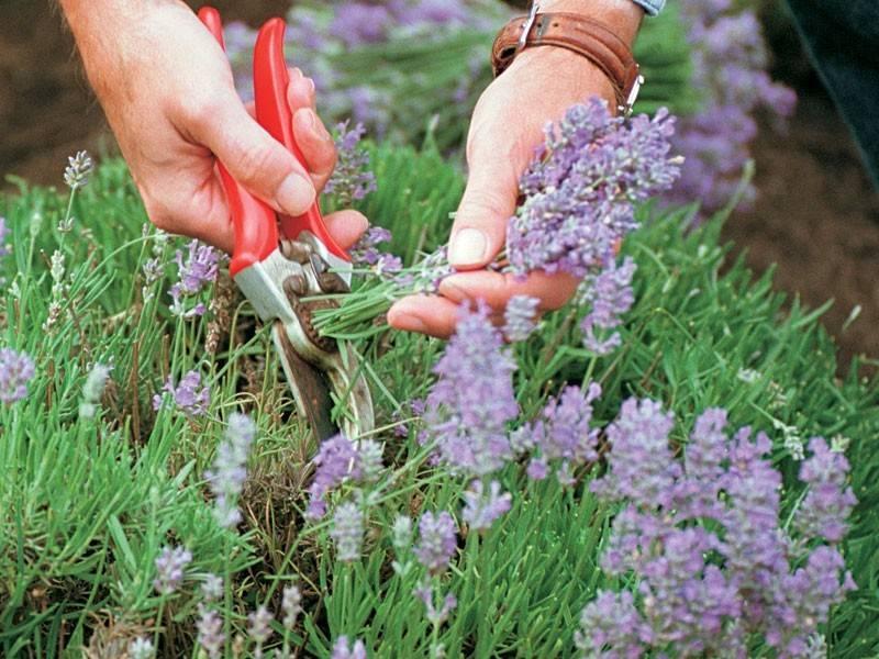Лаванда из семян в домашних условиях: посадка, выращивание и уход