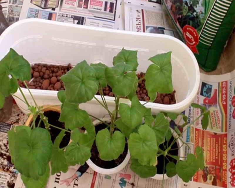 Уход за комнатным жасмином самбаком в домашних условиях: как растить арабский цветок