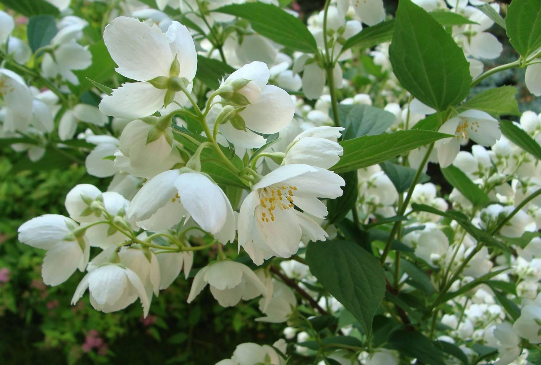 Популярные сорта чубушника с нежнейшим ароматом
