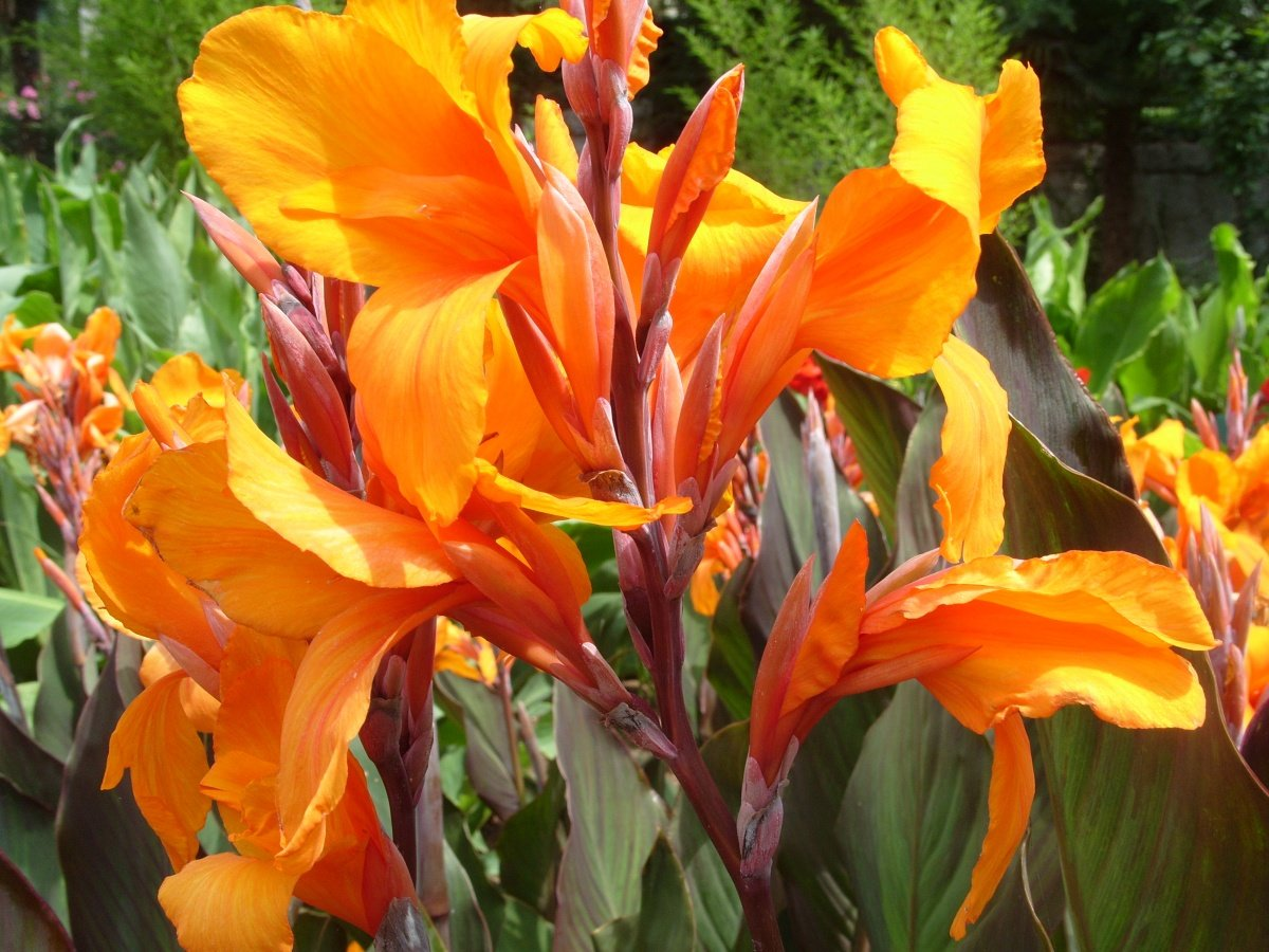 Канна - фото цветка, посадка и уход, выращивание