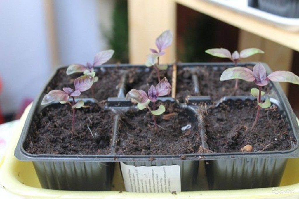 Особенности выращивания базилика на подоконнике из семян в квартире