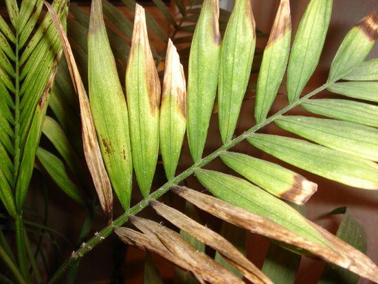 Настурция: профилактика болезней, вредители, что делать для обильного цветения