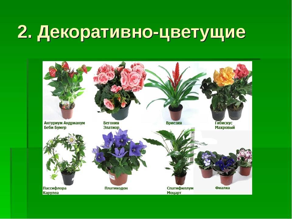 Самые популярные комнатные цветы (44 фото): описание распространенных домашних растений в горшках