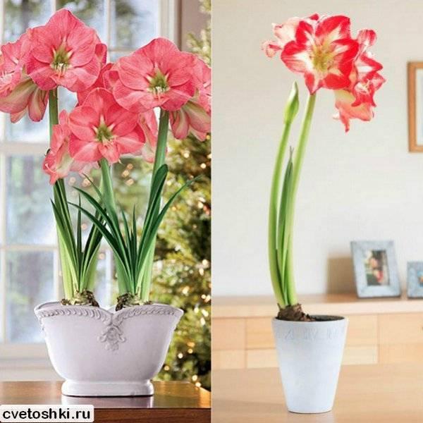 Амариллис: уход в домашних условиях (фото). почему не цветет амариллис?