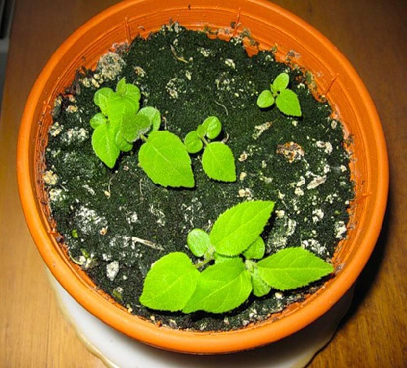 Гортензия посадка семенами в открытый грунт и ящики с почвой дома