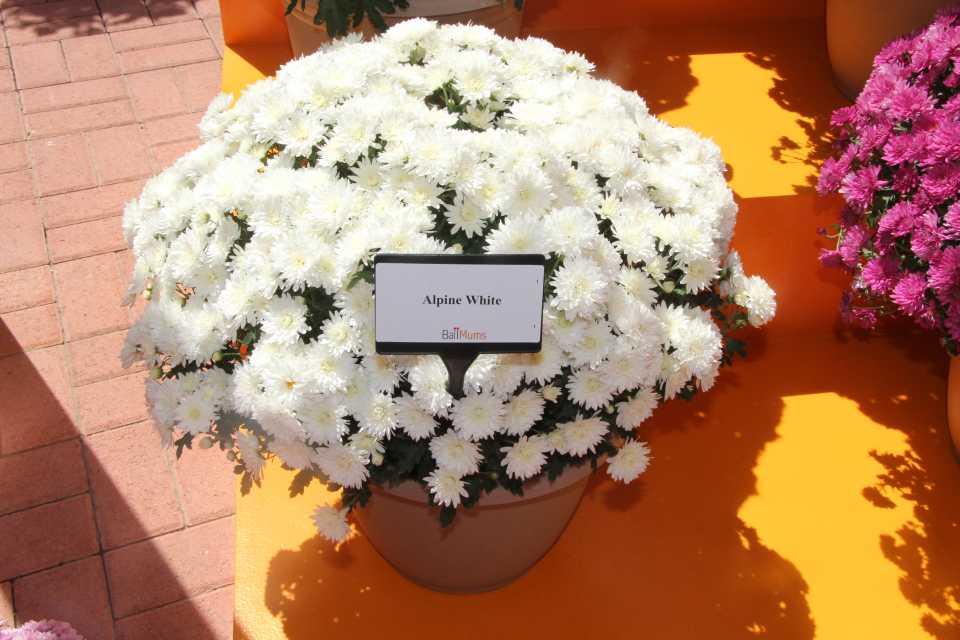 Хризантема мультифлора: посадка и уход, выращивание в открытом грунте