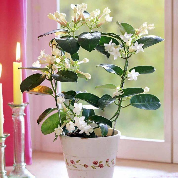 Как выглядит цветок стефанотис: описание, фото. выращивание стефанотиса в домашних условиях: посадка, уход, размножение
