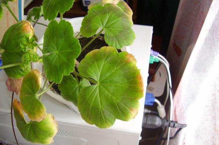 Почему листва герани белеет и что делать со светлыми и бледно-зелеными листьями