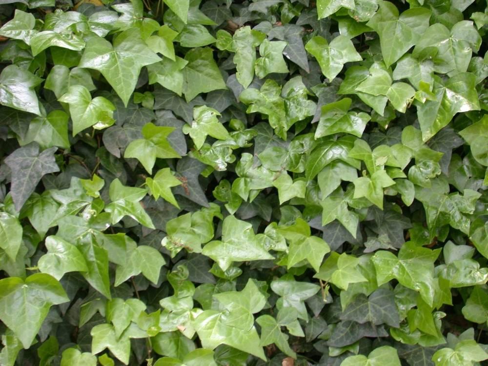 Хедера хеликс (комнатный плющ): выращивание и уход в домашних условиях